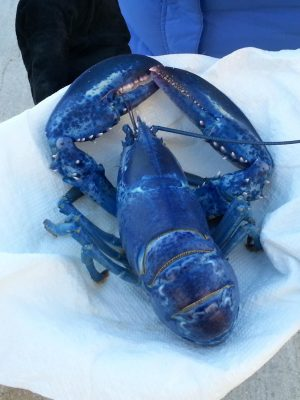 Blue_Lobster_SSchemel (auteur)_Wikimedia Commons