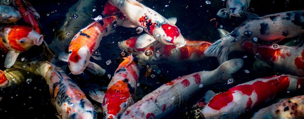 kumiko-shimizu-koi fish-unsplash